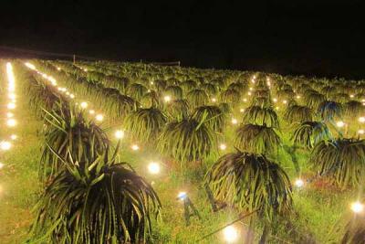 Đèn Chiếu Sáng Điều Khiển Cây Ra Hoa Ở Việt Nam